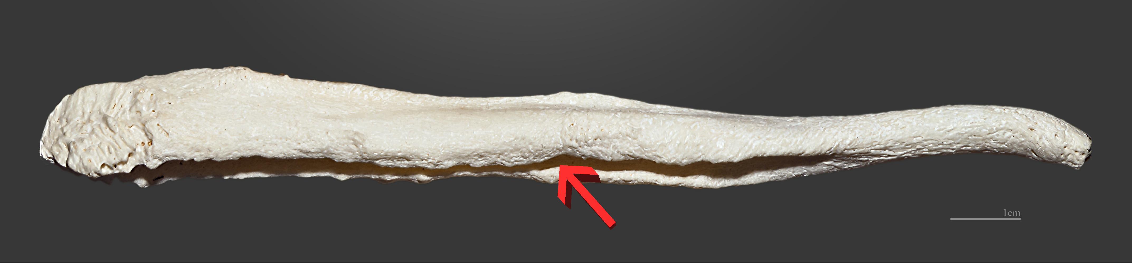 Male dog anatomy bulbus glandis