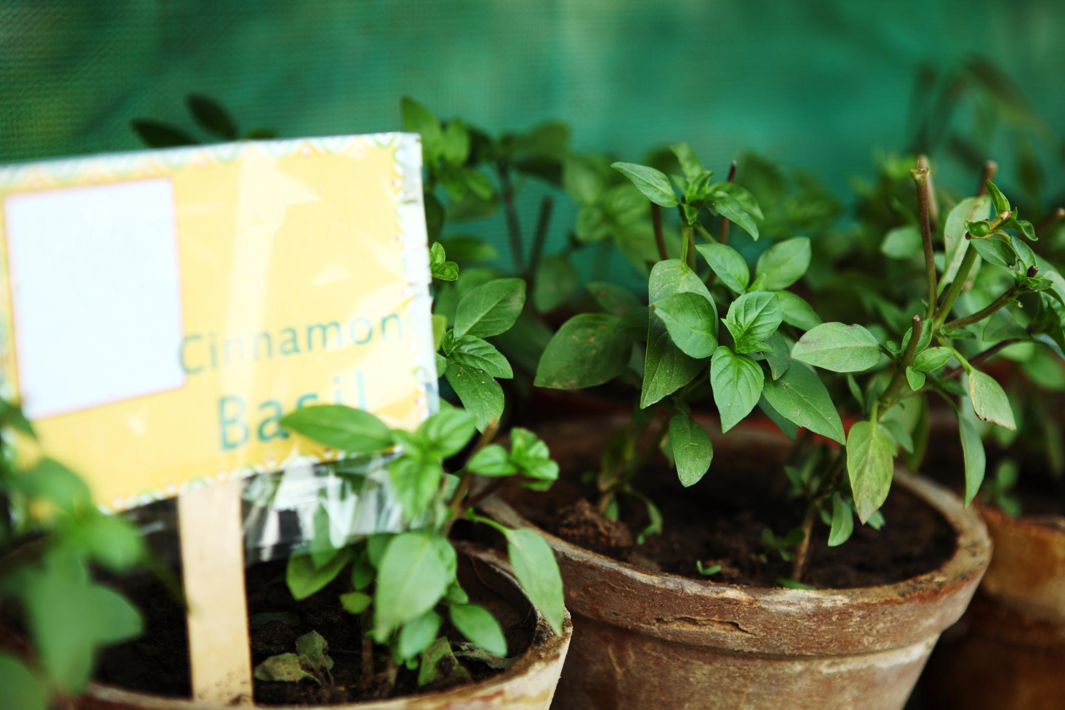 paris herbe aromatique basilic