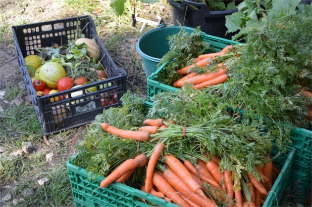 potager-bio-carotte
