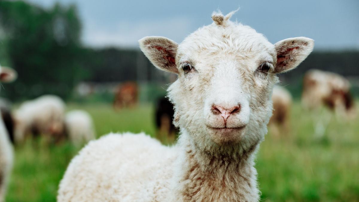 Un troupeau de moutons débarque en plein cœur de Paris