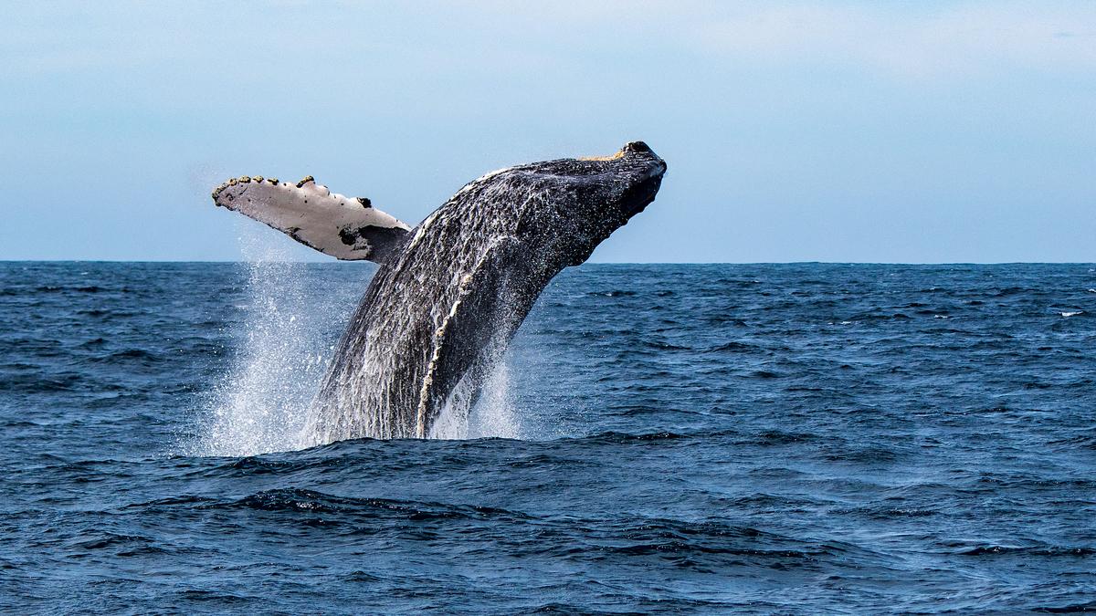 Des baleines aperçues au large des calanques de Marseille