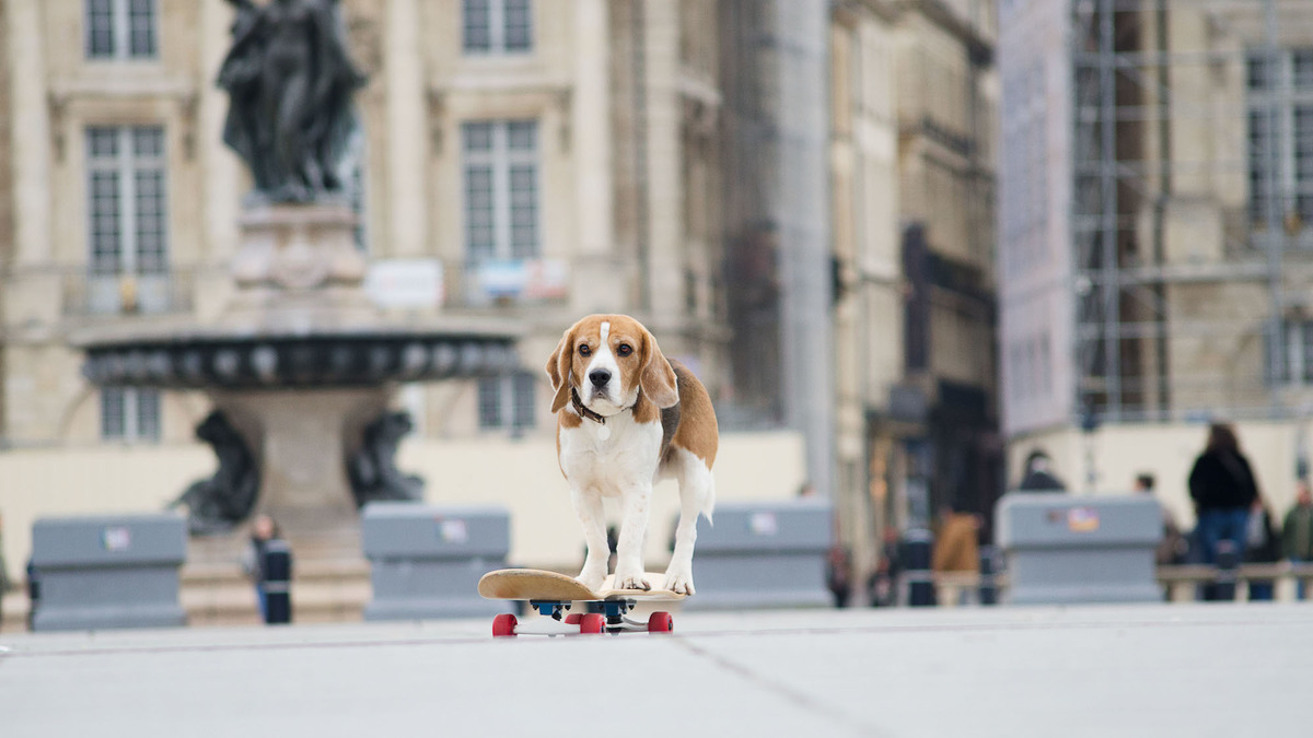 Marvel Ze Super Beagle : le toutou bordelais skateur et influenceur qui cartonne !